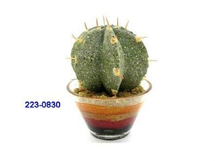 salg af Kaktus 10cm