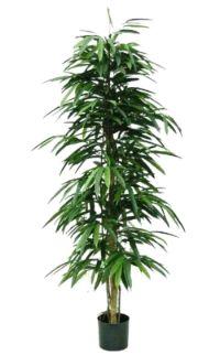 salg af Longifolia 130 cm.