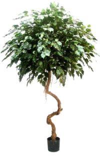 salg af Ficus umbrella 160cm