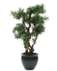 salg af Podocarpus 130cm