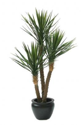 salg af Yucca rostrata 155 cm.