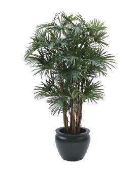 salg af Baby fan palme 135 cm