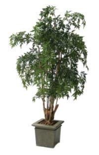 salg af Ming aralie 190 cm.