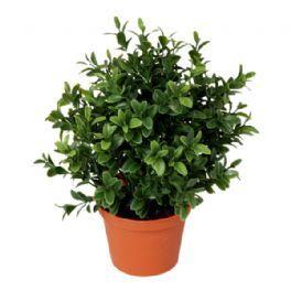 salg af Buksbom plante, H38 cm. - kunstige planter