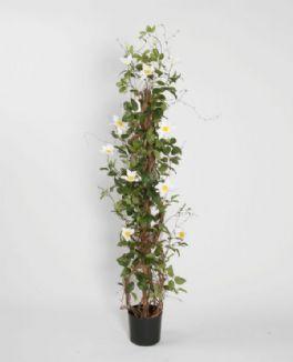 salg af Clematis, søjle - hvid - 130 cm. - kunstige træer