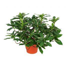 salg af Euonymus Japonicus, 24 cm. - kunstige planter