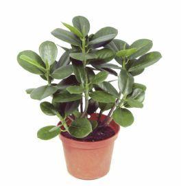 salg af Ficus Panda, 30 cm. - kunstige planter