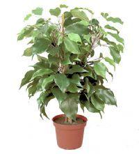 salg af Ficus plante 40 cm. - kunstig grøn plante