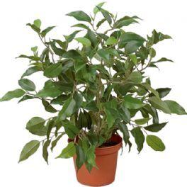 salg af Ficus natasja, 40 cm. - kunstige planter