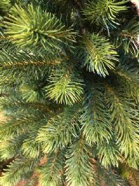 Grantræ i potte, 120 cm.