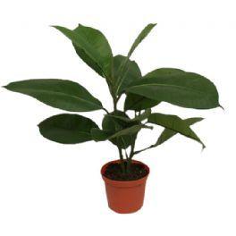 salg af Gummi plante, 40 cm. - kunstige planter