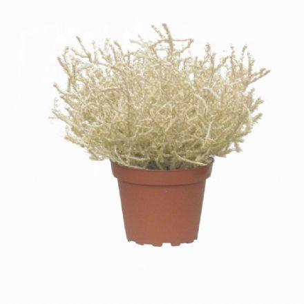 salg af Hekselyng i potte 20 cm. - kunstig plante - kunstig blomst