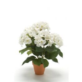 salg af Hortensia - hvid i lerpotte