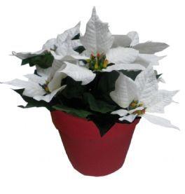 salg af Hvid julestjerne i rød potte - 7 blomster - højde 26 cm.