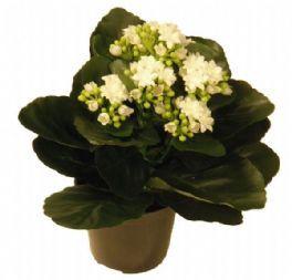 salg af Kalonchoe 25 cm. hvid - kunstige blomster
