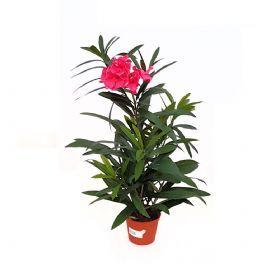 salg af Kunstig Nerie - med blomst - højde 68 cm.
