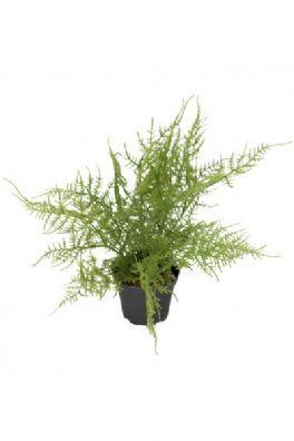 salg af Plumosus, 30 cm. - kunstige planter