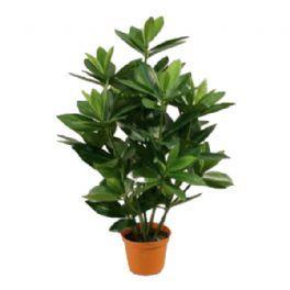 salg af Sakaki, 50 cm. - kunstige planter