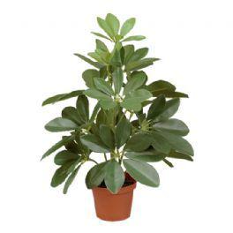 salg af Schefflera, 35 cm. - kunstige planter