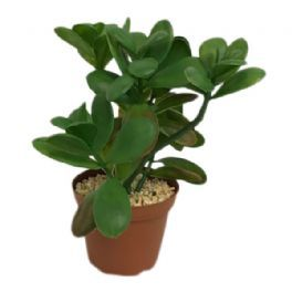 salg af Sukkulent, 17 cm. - kunstig plante