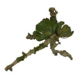 salg af Sukkulent på gren - L23*H18 cm.