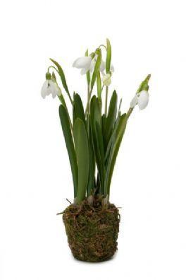 salg af Vintergæk i mos kugle, 30 cm. - kunstig blomster